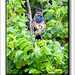 Blaukehlchen-Luscinia cyanecula-Texel 2015 (10)