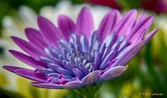 Purple (www.petje-fotografie.nl) Tags: