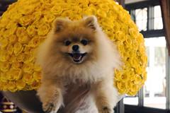 Floral Pomeranian Rose (Hammerin Man) Tags: dog colorado coloradosprings pomeranian toydog broadmoor yellowroses