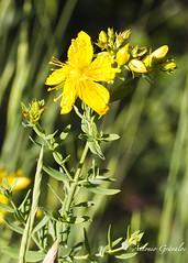 IMG_2015_06_04_0711 (gravalosantonio) Tags: flores flower flora flor