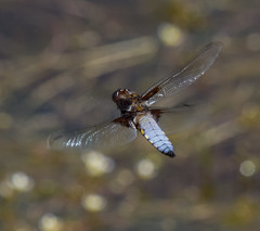 Broad Bodied chaser (alunwilliams155) Tags: dragonfly odonata broadbodiedchaser praff 2picellwr