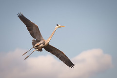 Great Blue Heron Momma (floyka) Tags: sky cloud heron birds flying wings workshop greatblueheron bif 2015 floyka