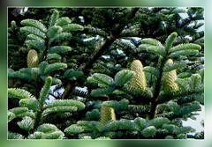 Tannenzapfen  -  pinecone (Mariandl48) Tags: austria äste steiermark tannenbaum tannenzapfen tanne nadeln reisig wenigzell sommersgut