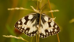 Butterfly - (Melanargia galathea) (Yasmine Hens) Tags: macro butterfly europa flickr belgium sony ngc papillon namur hens yasmine wallonie world100f iamflickr flickrunitedaward hensyasmine sonydscrx10m3