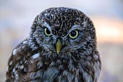 Steinkauz (Andy von der Wurm) Tags: portrait bird nature animal closeup fauna owl nahaufnahme raubvogel birdofprey tier vogel limburg eule littleowl kauz limbricht steinkauz hobbyphotograph andreasfucke andyvonderwurm
