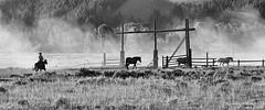 Stragglers - Dawn Round Up, Jackson Hole, Wyoming (David C. McCormack) Tags: horses blackandwhite bw west rural blackwhite riding western rockymountains wyoming grandteton horseback jacksonhole roundup grandtetonnationalpark jacksonwyoming