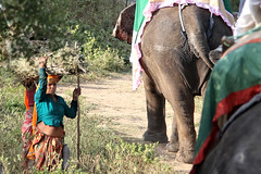Rush Hour (Steve Mitchell Gallery) Tags: road travel india elephant work women working rushhour elephants jaipur workingwomen