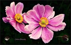 Pink Ladies (Une femme ...) Tags: pink flower rose japanese japon inblack enemone