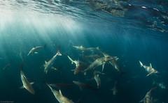 mackerel baitball and sharks (martijn_schouten) Tags: baitball mackerel spinnershark blacktipshark coppershark sardinerun2016 sardinerun wildcoast southafrica underwaterphotography shark sharkexplorers epic pelagics