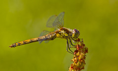 Common Darter Sympetrum striolatum (Ivan Lynas Nature Photography) Tags: