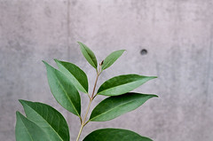 ha (aosuzume's photos) Tags: pentaxlx smcpentaxm50mmf17 leaf film