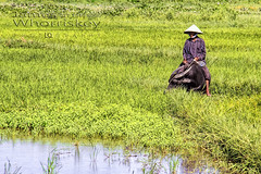 Vietnamese Farmer ! (James Whorriskey (Delbert Jackson)) Tags: jameswhorriskey jameswhoriskey delbertjackson derry londonderry uk ulster ireland northernireland photo photograph photographer picture aroundus impressionsexpressions catchycolors jameswhorriskeyphotography colour art print asia vietnam busy outdoor water buffalo waterbuffalo rice fields vietnamese farmer central hoian