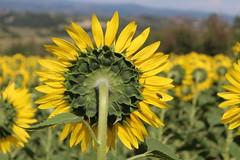 il nutrimento del sole (maresogno67) Tags: natura girasole dietro campo nature giallo ape pianta allaperto fiore