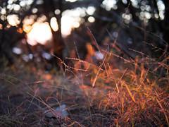 Pink Light and Streaks of Grass at Land's End (eekim) Tags: landsend light richmonddistrict goldenhour outerrichmond sanfrancisco california unitedstates us