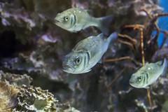 Los tres mosqueteros marinos (Jo March11) Tags: peces museo marisma acuario cantabria noja arnuero soano casadelasmareas observatoriodelasmarismas