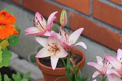 Garden Flowers (Attolrahc) Tags: flowers summer flower nature canon finland garden eos lowlight dof bokeh outdoor flowerpot naturephotography gardenflowers summerflowers canonef70300mmf456isusm 60d canoneos60d