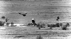 A Raven Flying Around a Bald Eagle and Carcass (Black & White) (thor_mark ) Tags: bird nature birds blackwhite unitedstates baldeagle jackson wyoming carrion day3 raven carcass sagebrush lookingwest birdinflight grassyfield project365 nationalelkrefuge colorefexpro raveninflight wyomingcountryside nikond800e capturenx2edited