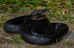 Red-bellied Black Snake (Pseudechis porphyriacus) (Mattsummerville) Tags: reptile snake australia queensland redbelly tropics venomous northqueensland blacksnake julatten pseudechisporphyriacus redbelliedblacksnake mountlewis elapid rbbs