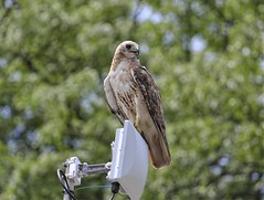 Molting Christo (Goggla) Tags: nyc new york manhattan east village tompkins square park urban wildlife bird raptor red tail hawk adult male christo molt molting goglog
