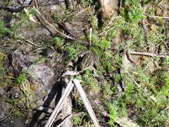 Marsh frog, Mrtly, Hungary (Norbert Bnhidi) Tags: hungary mrtly animal ungarn hungra hongrie ungheria hungria hongarije  magyarorszg