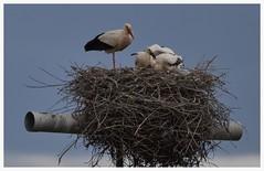 MAMAN CIGOGNE ET SES PETITS (Odile ENTRE MER ET MONTAGNE) Tags: cigogne oiseaux nid espagne nature