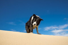 Pops on a sand dune (Keartona) Tags: poppy collie bordercollie dog bluesky formby point merseyside england summer day sunny sand dune beach coast