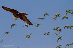 IMG_0659.jpg (Paul Williams www.IronAmmonitePhotography.com) Tags: bird budgerigar summer murmuration dryseason melopsittacusundulatus australia