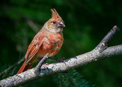 Juvenile Cardinal (trashguy9) Tags: cardinal
