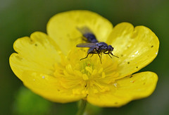 creeping beauty (conall..) Tags: 060816 raynox dcr250 macro fly buttercup ranunculus repens ranunculusrepens
