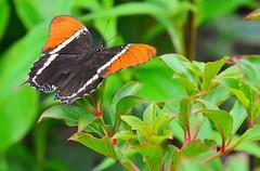 Just landed... (stevelamb007) Tags: butterfly garden illinois chicagobotanicgarden nature natur stevelamb nikon d7200 nikkor18200mm nikkor