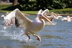 Pelican (Cloudtail the Snow Leopard) Tags: pelikan zoo karlsruhe tier animal vogel bird water swim wasservogel pelicane pelecanidae pelecanus