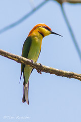 IMG_9566  Chestnut Headed Bee Eater (timrusson) Tags: thailand chestnutheadedbeeeater