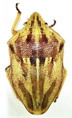 Scutelleridae: Odontotarsus purpreolineatus (heteropteran) Tags: hemiptera heteroptera scutelleridae odontotarsus insect turkey trkiye true bug bcek purpureolineatus anatolia karaman