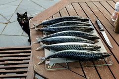 Mackerel and Munro (James_at_Slack) Tags: cat munro mackerel fish home funny knife table patio jamesdyasdavidson