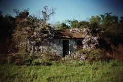 Wisteria Heavy (Mike McCall) Tags: 2016mikemccall georgia jeffdaviscounty wisteria vine flower house abandoned overgrowth