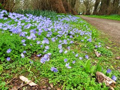 Anemone blanda (JulieK (thanks for 8 million views)) Tags: blue ireland irish flower green spring woods pretty path cork munster anemoneblanda donerailepark canong11