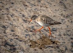 Redshank (Digisnapper (George)) Tags: bird nature water animal shore redshank wader