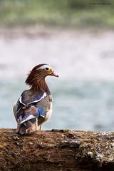 Mandarijneend (judithvanagthoven) Tags: holland nature water groen nederland vogels natuur sigma dieren mandarijneend 150500mm eendachtigen