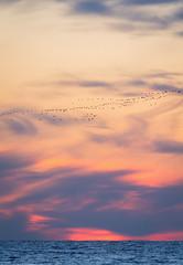Arktika (L.Mikonranta) Tags: nature canon eos is estonia goose 300mm 7d l usm migration f28 ef valkoposkihanhi hiiumaa barnacle eesti viro branta leuco