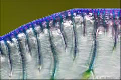 Physalia utriculus (Atlapix) Tags: blue abstract nature animal pattern australia sail newsouthwales bluebottle physalia portuguesemanofwar cnidaria physaliautriculus hydrozoan