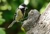 Great tit (Shane Jones) Tags: bird nikon tit feeding greattit nesting 200400vr d7000
