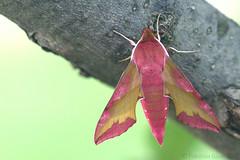 Small Elephant Hawk-moth (Franziska Bauer) Tags: june spring moth lepidoptera deilephilaporcellus nachtfalter schwrmer smallelephanthawkmoth kleinerweinschwrmer deilephila