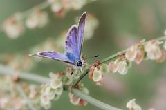 Une ptite pause ça n'a jamais fait de mal à personne (ElmerstarK) Tags: france macro nature butterfly papillon fr bourgogne insecte côtedor villerslespots