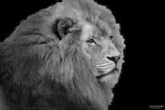 Le Roi Lion (LaurentJALET.fr) Tags: animal canon zoo chat lion safari jungle 7d roi sauvage museau beauval criniere jalet laurentjalet laurentjaletfr