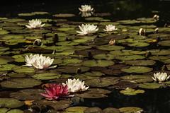 Bodnant Gardens (ianandbarbara.bonnell@btinternet.com) Tags: uk flowers plants nature floral beauty gardens wales natural waterlillies northwales