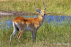 red lechwe5 (kobus leche leche) (Colin Pacitti) Tags: redlechwebull redlechwe kobuslecheleche lechwe antelope mammal wildanimal animal wetland outdoor theokavango botswana fantasticwildlife coth hennysanimals