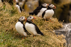 Pairs (Lou Rouge) Tags: naturaleza nature birds animal iceland islandia sweet couples aves animales puffins seabirds fratercula reynisfjara atlanticpuffin frailecillos