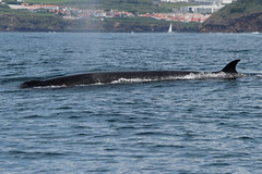 Sei whale blowing off steam (gwiwer) Tags: azoren azores aores somiguel whalewatching seiwhale seiwal wal whale atlantic atlantik
