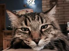 Friday Night Mood (A Wild Western Heart) Tags: rescue kitty gato kat chat cat tabby chucky
