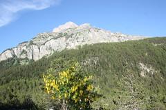 photo 2 (luka116) Tags: montagne suisse paysage juillet arbre vegetal valais 2016 vegetaux cytise derborence fabaces laburnumalpinum cytisusalpinus